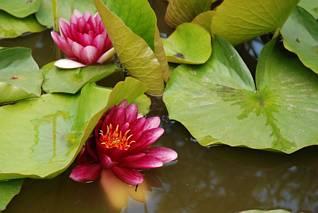Dwie lilie wodne