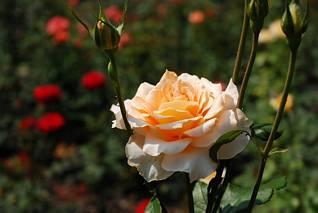 Róża, Ogród Botaniczny