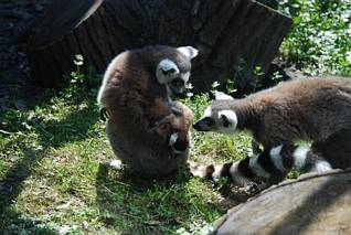Lemury z młodym egzemplarzem (?)