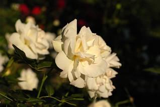 Róża kremowa