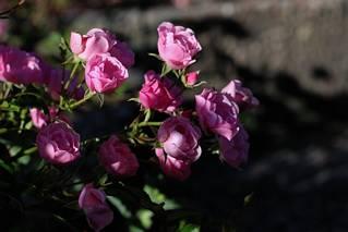 Różowe różyczki