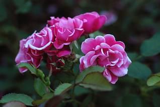Ciekawa odmiana róży