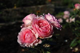 Cztery różowe róże