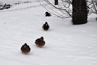 Kaczki zimową porą