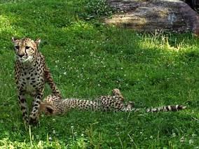 Gepardy