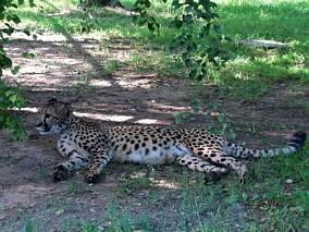 Leniwy gepard