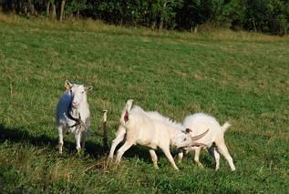 Walka o kozę