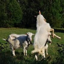 Walka o kozę - główne starcie