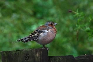 Ptaszek rudzik
