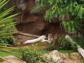Tygrysy w Loro Parque