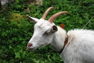 Koza w Obłazach