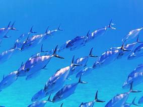 Ławica tuńczyków