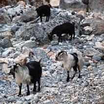 Wszędzie kozy...