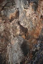 Wąwóz Aradena - kozy skalne :-)