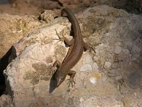 Endemiczna jaszczurka, Dragonera