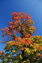 Klon w barwach jesieni